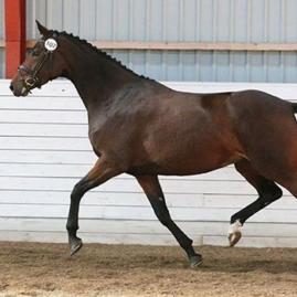 Mørkbrun hest som traver.